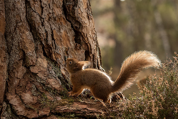 Red-Squirrel34