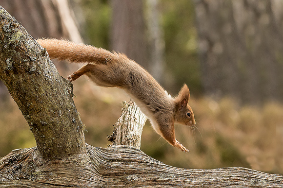 Red-Squirrel35
