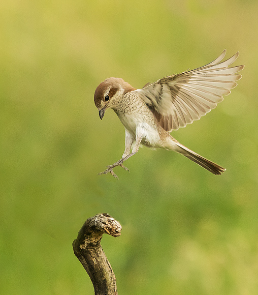 Red-backed-Shrike08