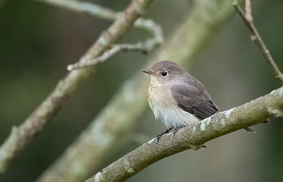 Red-breasted-Flycatcher10