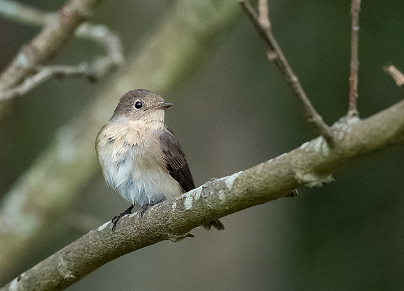Red-breasted-Flycatcher12