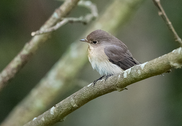 Red-breasted-Flycatcher13