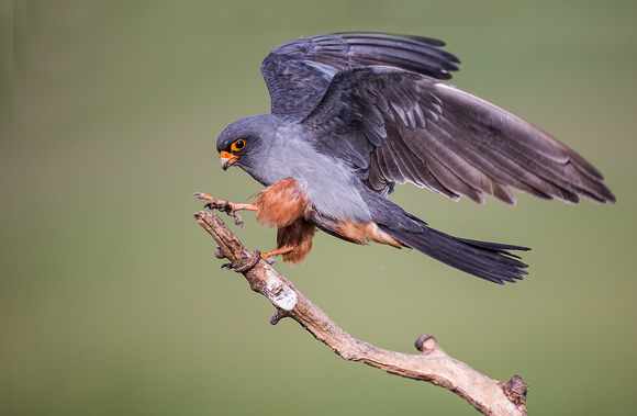 Red-footed-Falcon06