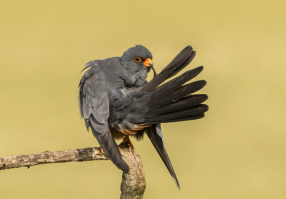 Red-footed-Falcon07