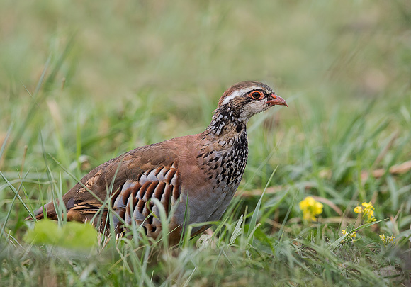 Red-legged-Partridge55
