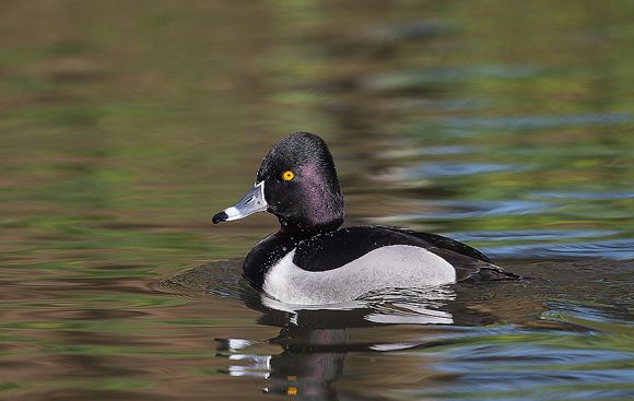 Ring-necked-Duck07