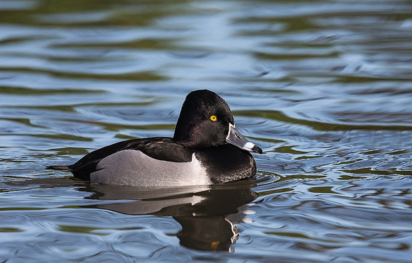 Ring-necked-Duck08