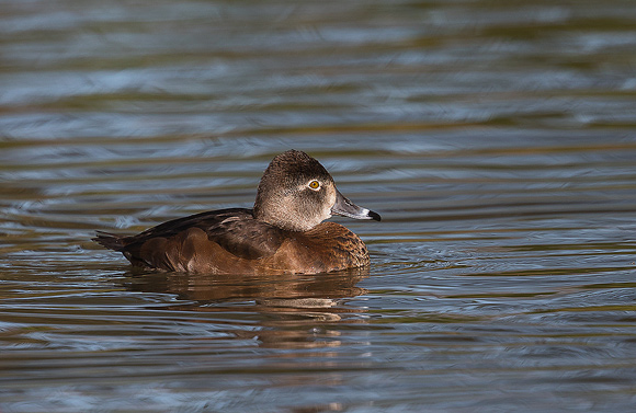 Ring-necked-Duck09