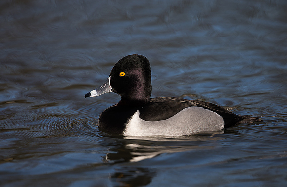 Ring-necked-Duck21
