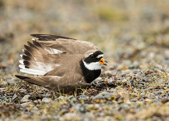 Ringed-Plover06