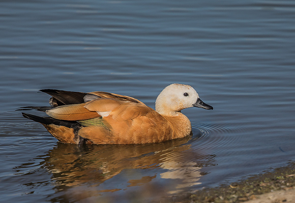 Ruddy-Shelduck05