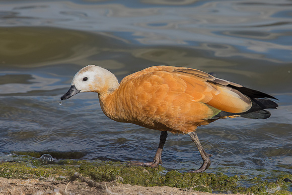Ruddy-Shelduck06