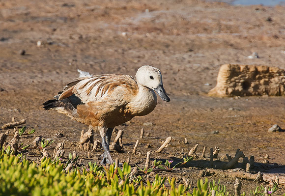 Ruddy-Shelduck08