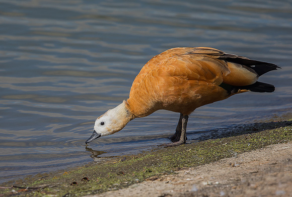 Ruddy-Shelduck10