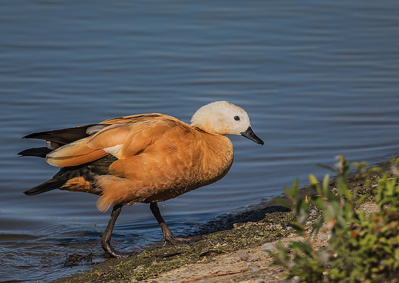 Ruddy-Shelduck17
