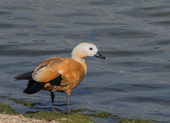 Ruddy-Shelduck20