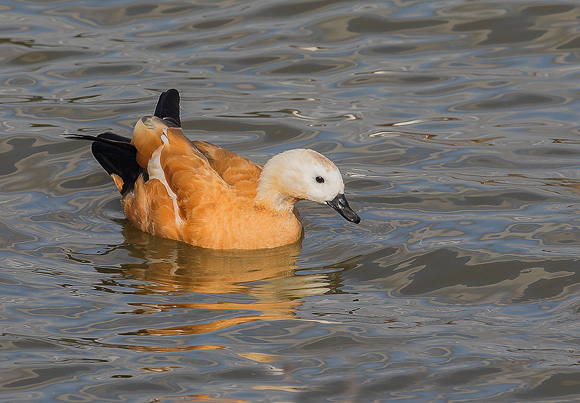Ruddy-Shelduck21