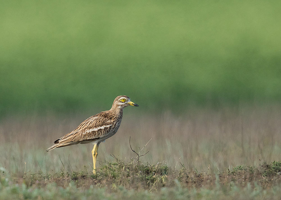 Stone-curlew08