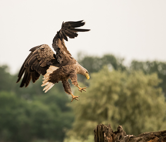 White-tailed-Eagle107