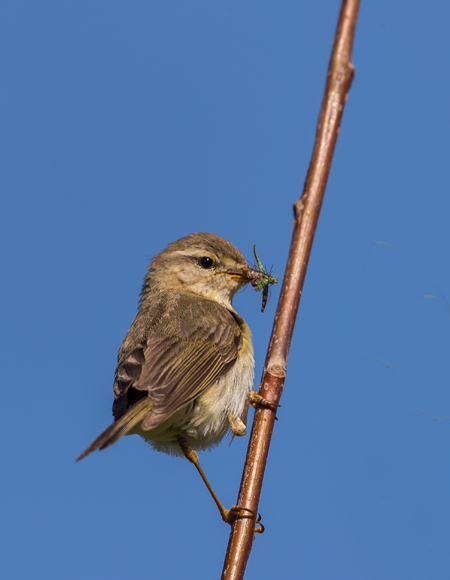 Willow-Warbler13a