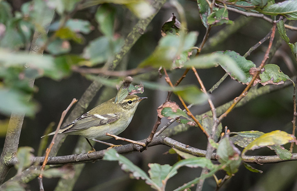 Yellow-browed-Warbler10