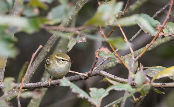 Yellow-browed-Warbler11
