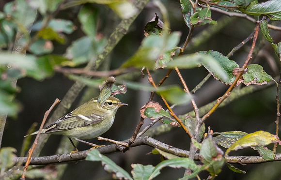 Yellow-browed-Warbler12